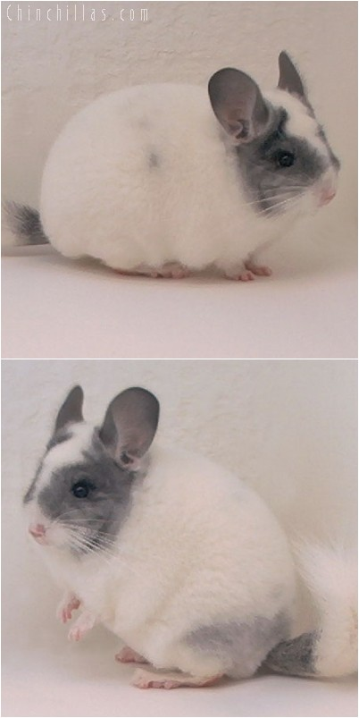 5002 Premium Production Quality Extreme White Mosaic Female Chinchilla