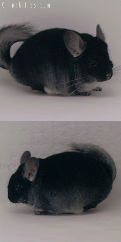 4311 Top Show Quality Black Velvet Male Chinchilla