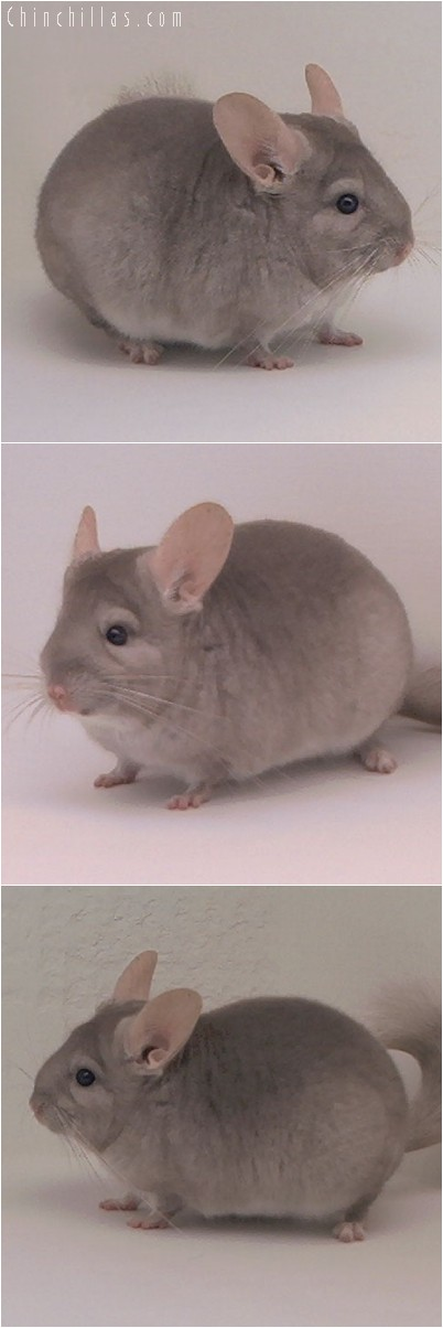 4255 Show Quality Beige ( Violet Carrier ) Female Chinchilla