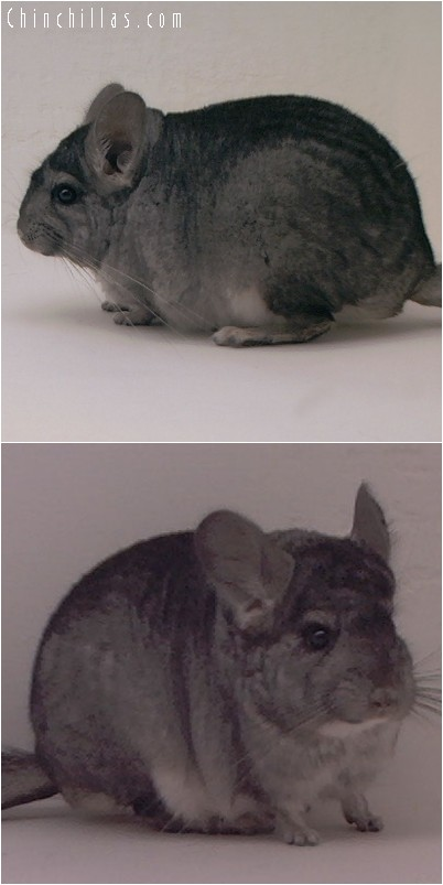 4112 Show Quality Standard ( Violet Carrier ) Male Chinchilla