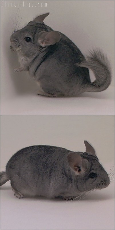 5009 Standard ( Violet Carrier ) Female Chinchilla