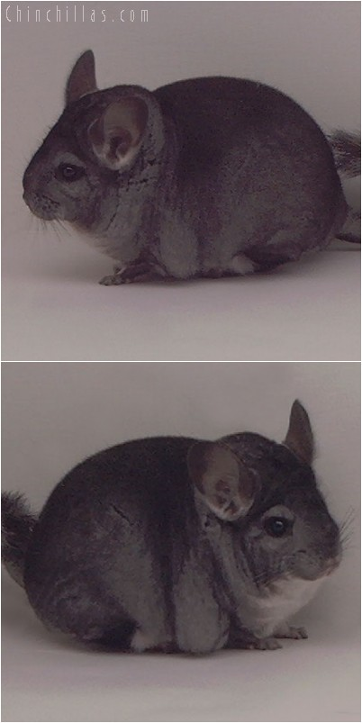 5010 Show Quality Standard Female Chinchilla