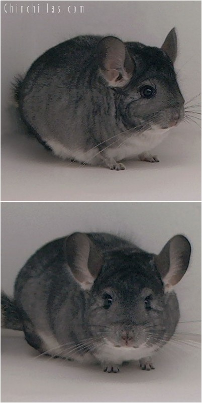 4233 Large Top Show Quality Standard Female Chinchilla