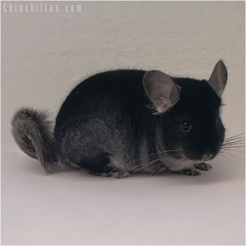 4332 Show Quality Black Velvet Female Chinchilla