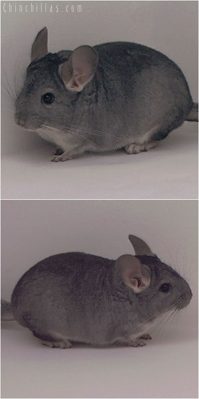 5005 Show Quality Standard ( Violet Carrier ) Female Chinchilla