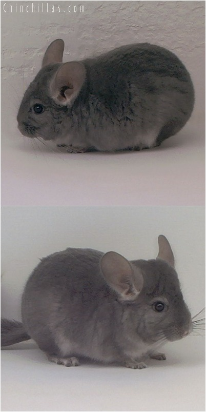 5016 Violet ( Ebony Carrier ) Male Chinchilla