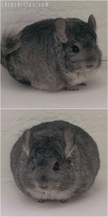 5006 Show Quality Brevi - type Standard Female Chinchilla