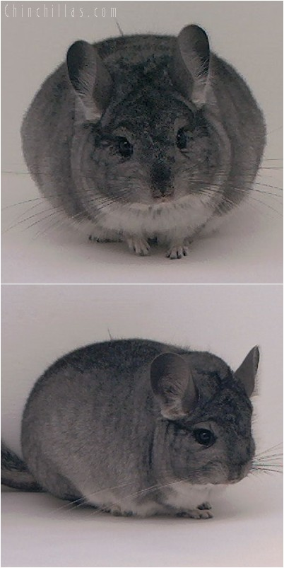 4301 Show Quality Brevi - type Standard Female Chinchilla