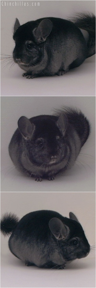 5025 Premium Production Quality Ebony Female Chinchilla