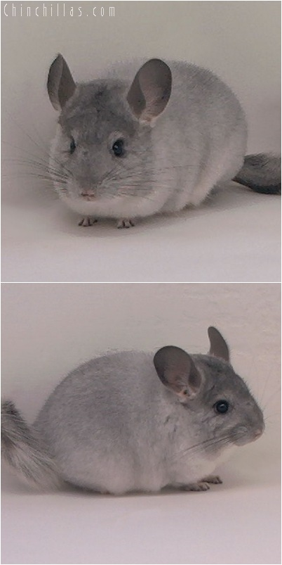 5024 Show Quality Silver Female Chinchilla