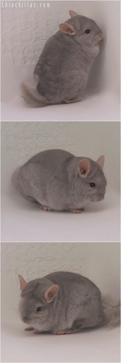 5031 Dwarf Beige Female Chinchilla