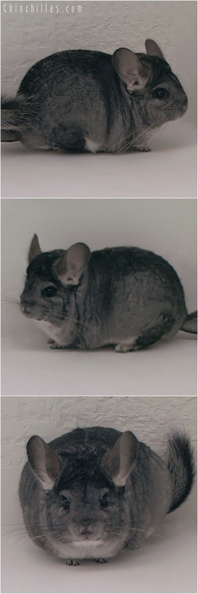 5033 Large Brevi - type Standard Female Chinchilla