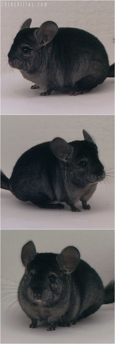 5038 Show Quality Ebony Female Chinchilla