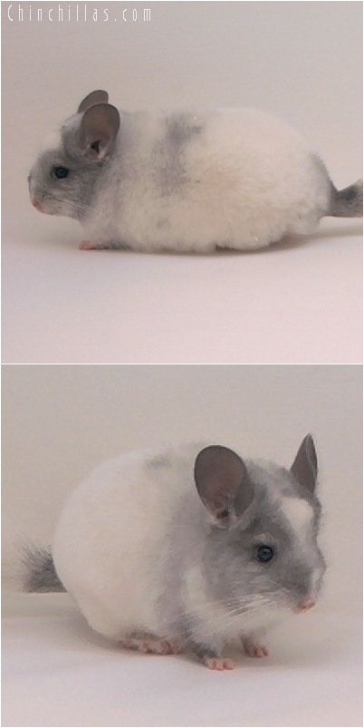 5030 Show Quality White Mosaic Female Chinchilla
