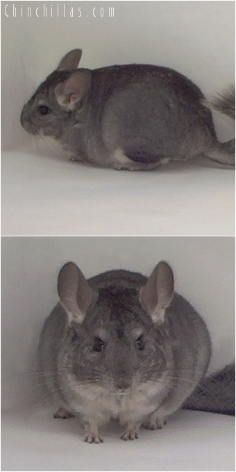 5007 Show Quality Standard ( Violet Carrier ) Female Chinchilla