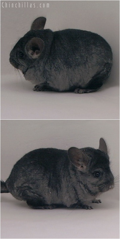 5028 Show Quality Ebony ( Violet Carrier ) Female Chinchilla