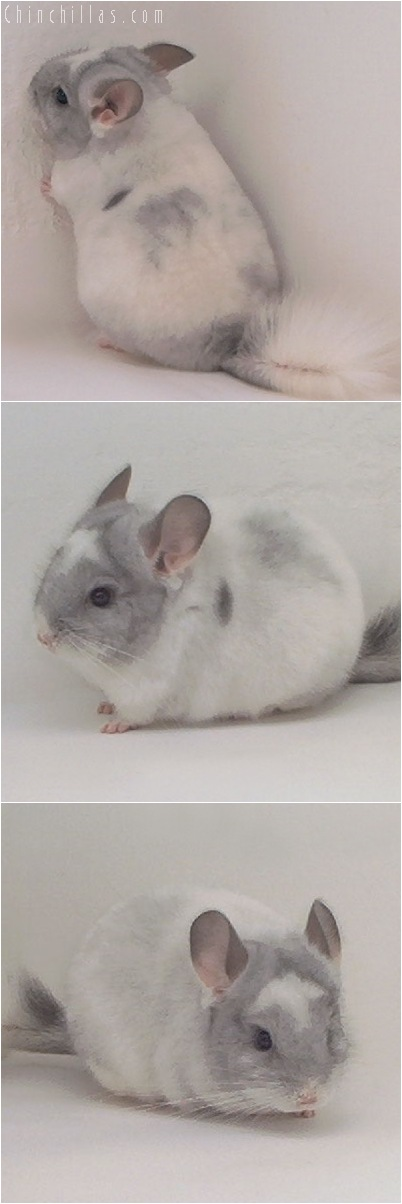 5021 Show Quality White Mosaic Male with Unusual Markings Chinchilla