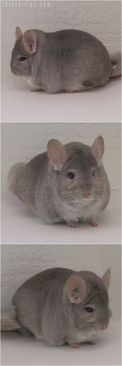 4329 Extra Large MCBA Sec.Champion Beige Male Chinchilla