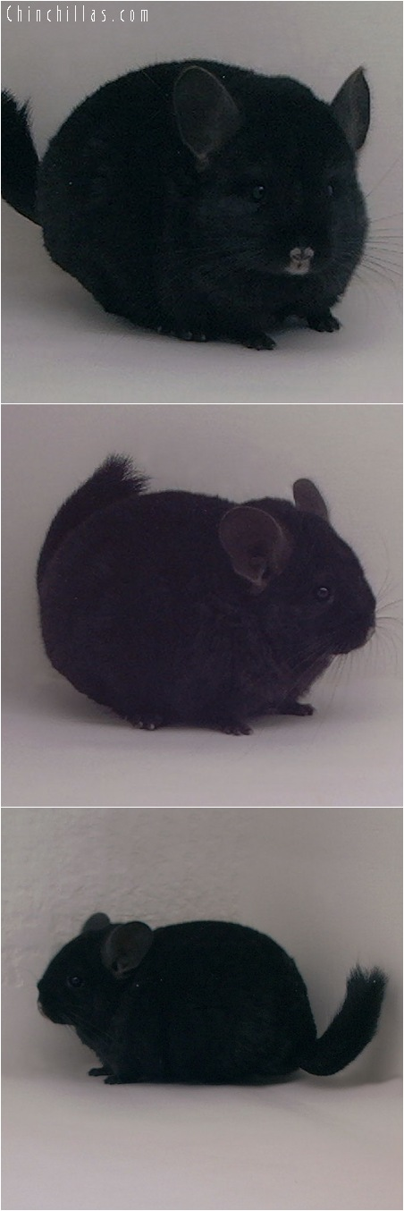 5020 Top Show Quality Ebony ( Sapphire Carrier ) Female Chinchilla