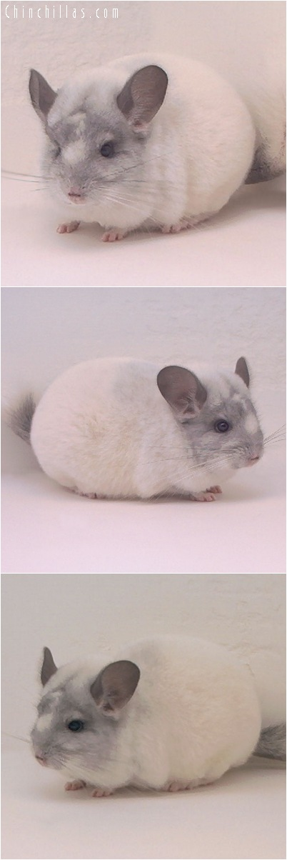 5040 White Mosaic Female Chinchilla