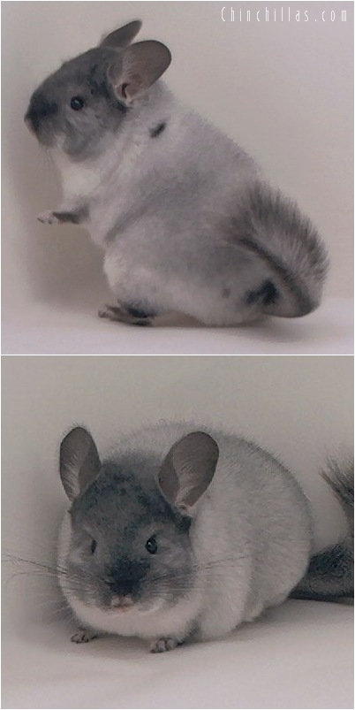 5043 Premium Production Quality TOV White Female Chinchilla