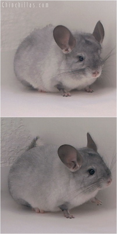 5046 Show Quality Silver Mosaic Female Chinchilla