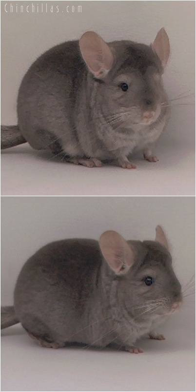 5045 Premium Production Quality Beige ( Ebony Carrier ) Female Chinchilla