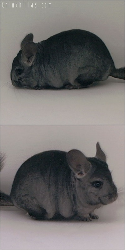 5051 Show Quality Ebony ( Violet Carrier ) Female Chinchilla