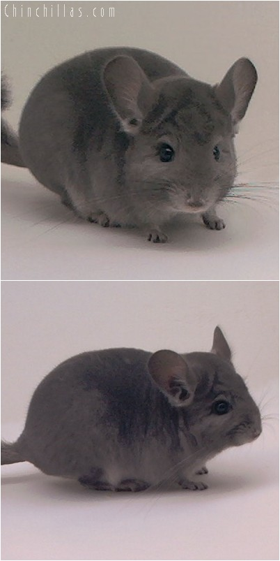 5014 Show Quality Violet ( Ebony Carrier ) Male Chinchilla