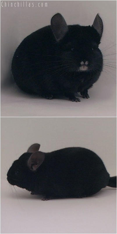 5052 Premium Production Quality Ebony Female Chinchilla