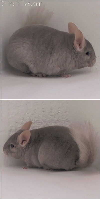 5053 Tan Female Chinchilla