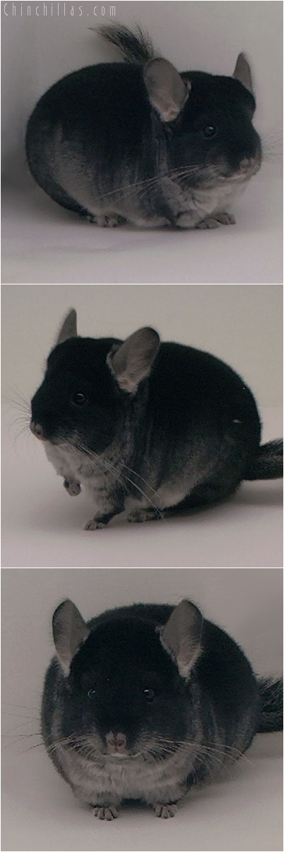 5029 Show Quality Black Velvet Female Chinchilla