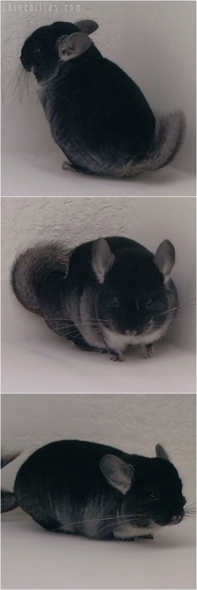 5069 Show Quality Black Velvet Female Chinchilla