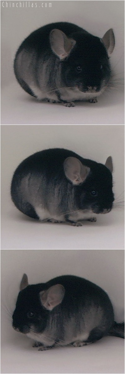 5070 Show Quality Black Velvet Female Chinchilla