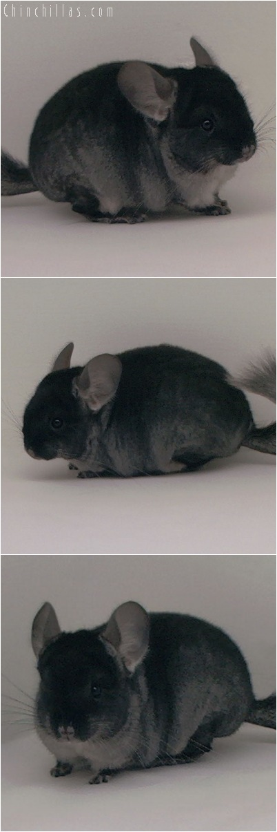 5047 Black Velvet ( Ebony & Sapphire Carrier ) Female Chinchilla