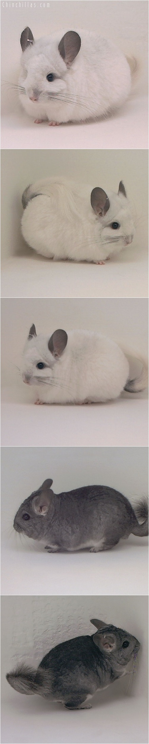 5077 & 5076 Angora Producing Pair Chinchilla