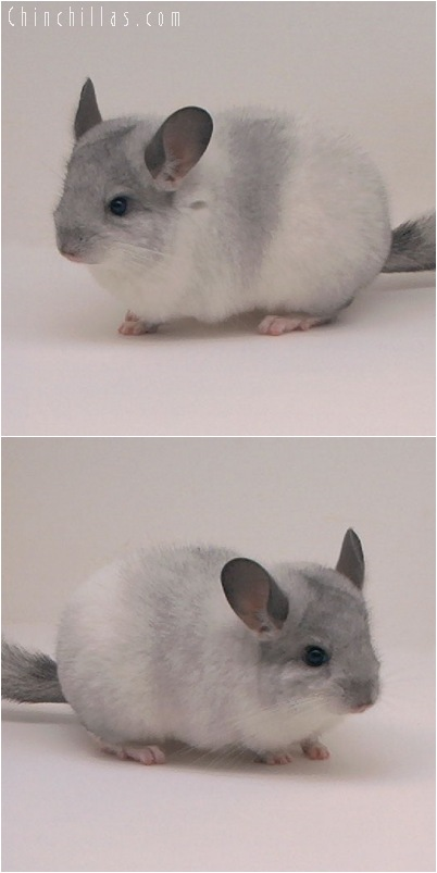 5044 Show Quality White Mosaic K887 Daughter Chinchilla