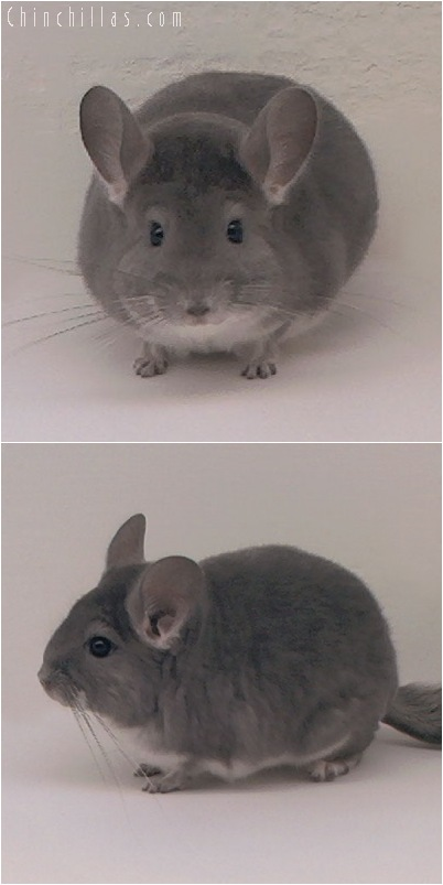 5037 Show Quality Violet Male Chinchilla