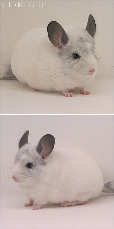5079 Show Quality White Mosaic Female Chinchilla