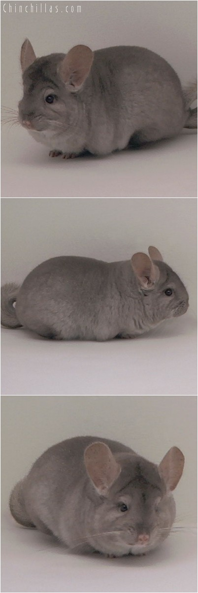 5013 Top Show Quality Beige Female Chinchilla