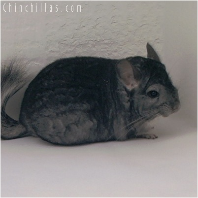 5066 Show Quality Standard Male Chinchilla