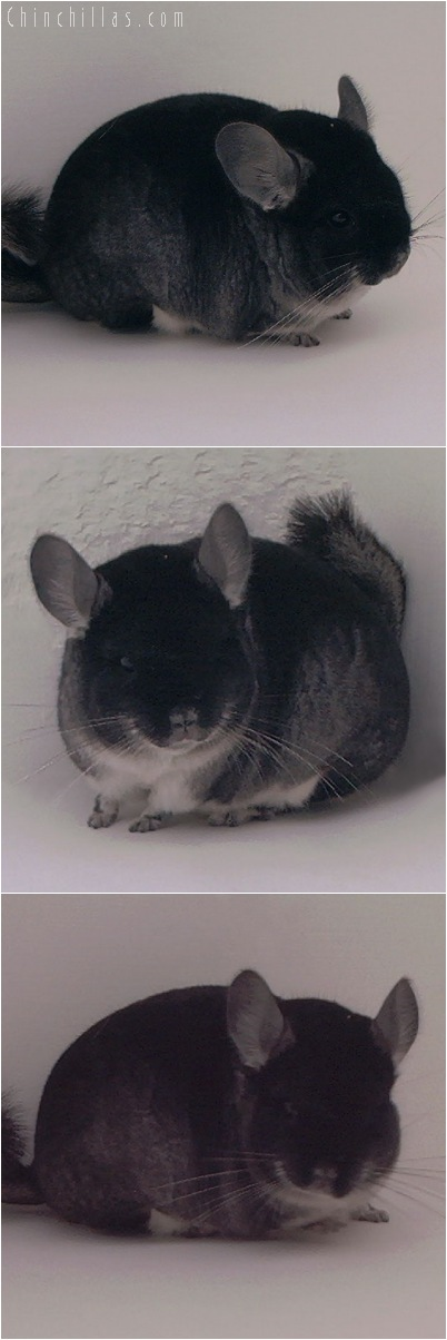 5084 Show Quality Black Velvet Male Chinchilla