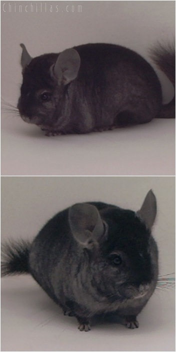 5086 Show Quality Ebony Male Chinchilla