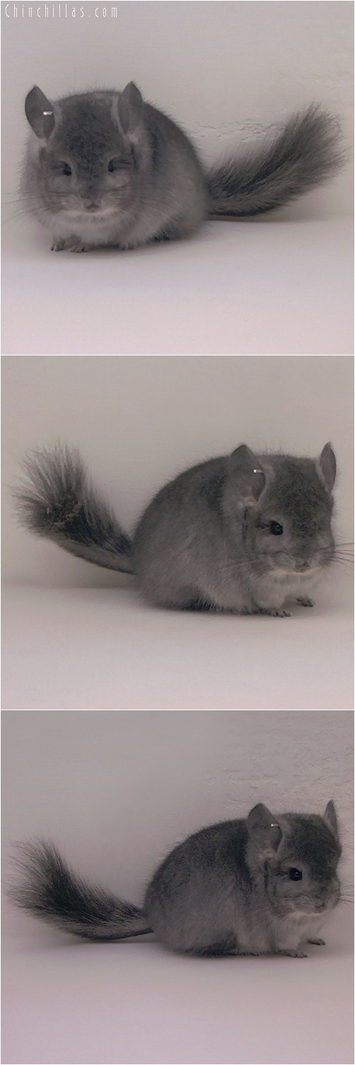 5097 Standard Royal Persian Angora Male Chinchilla