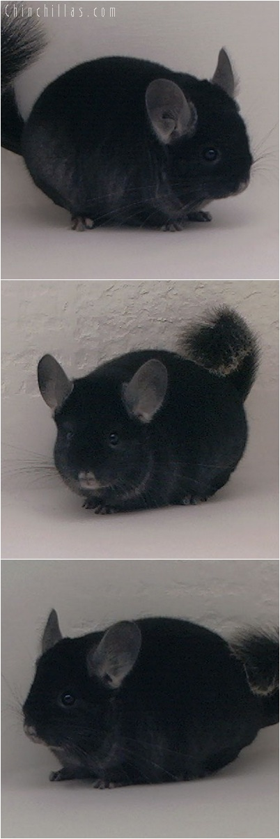 5100 Show Quality TOV Ebony Male Chinchilla
