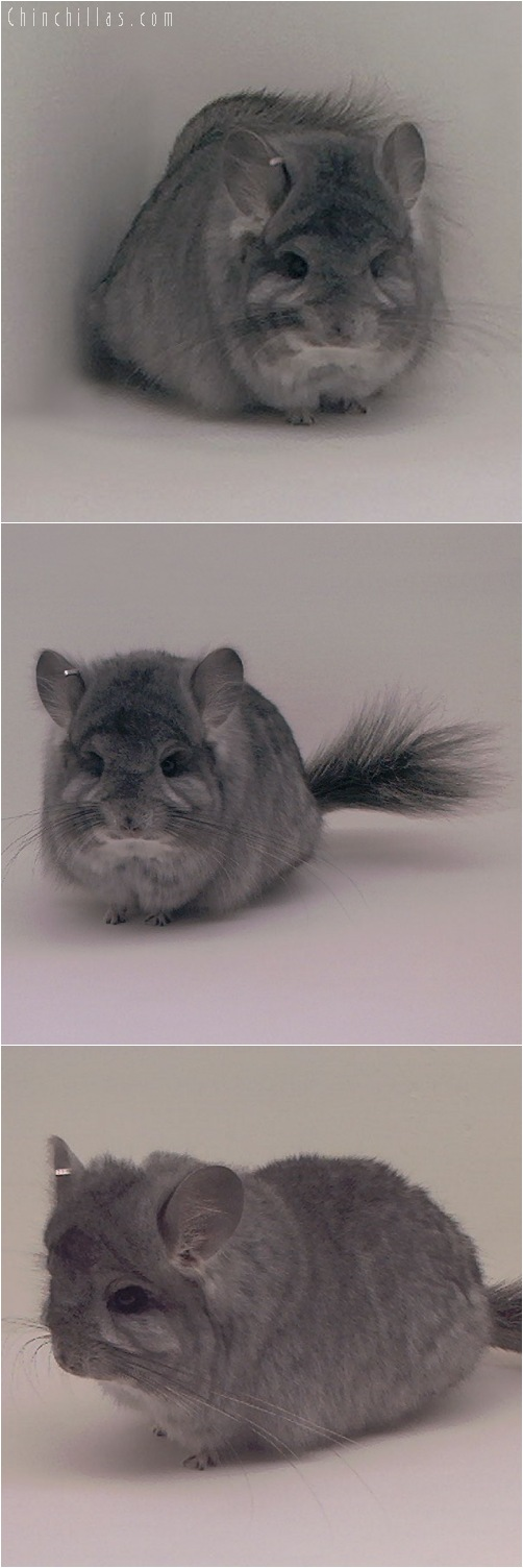 5101 Standard Royal Persian Angora Female Chinchilla