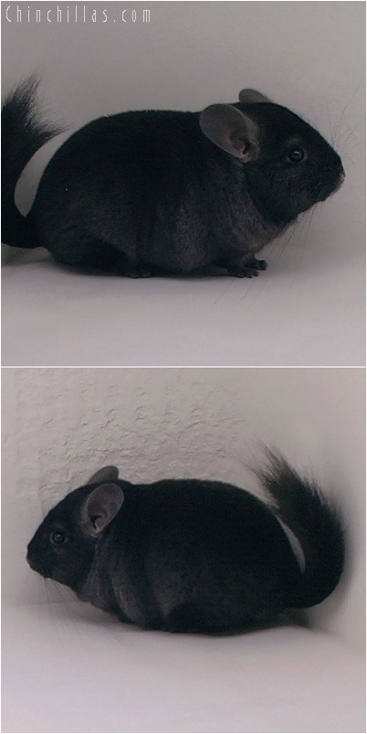 5071 Show Quality Ebony Female Chinchilla