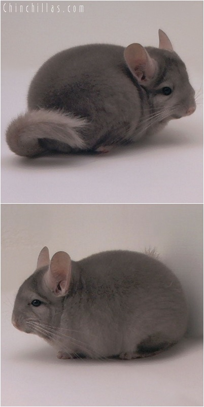 5027 Premium Production Quality Tan Female Chinchilla