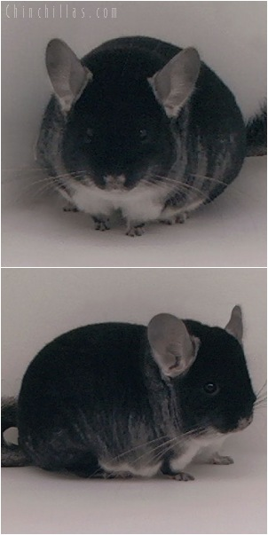 5091 Show Quality Black Velvet Female Chinchilla