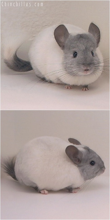 5116 Ebony & White Mosaic Female Chinchilla